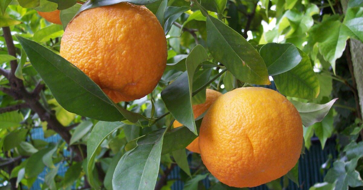 Will Orange Juice Futures Feel The Squeeze?